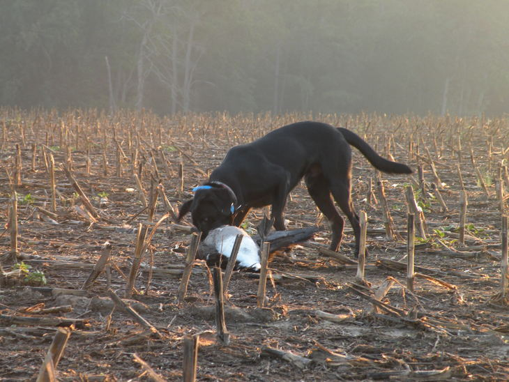Baldur retrieving goose on first hunt. 14 months old.